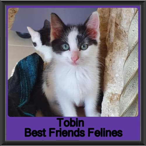 Tobin  - Domestic Short Hair Cat