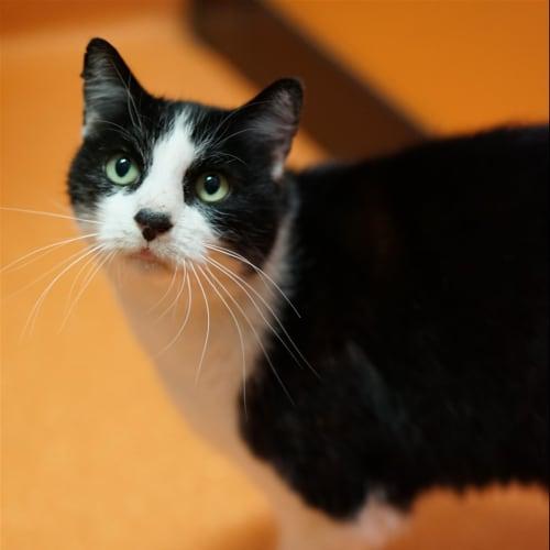 Snowflake - Domestic Short Hair Cat