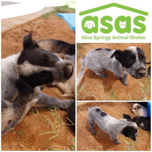Bluey  DG19-467 - Mixed Breed Dog