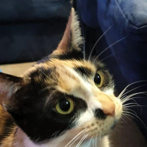 Charlotte - Domestic Short Hair Cat
