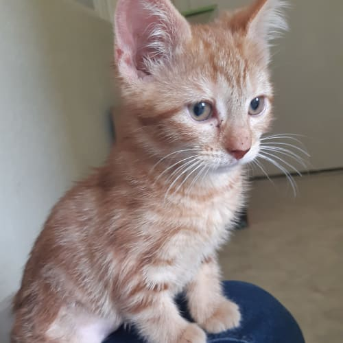 Marvel - Located in Rosanna - Domestic Short Hair Cat