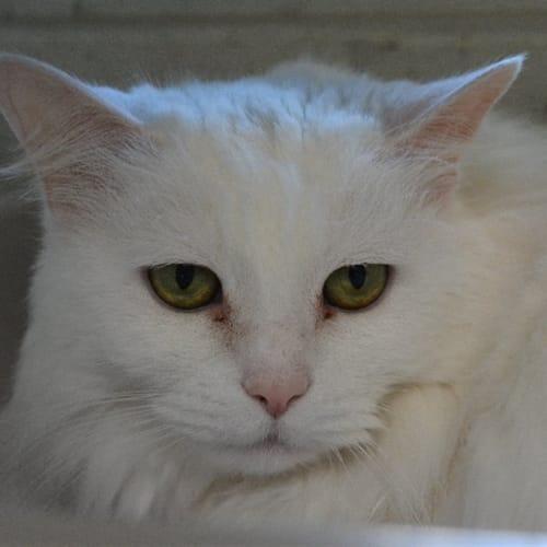 Everest - Angora Cat