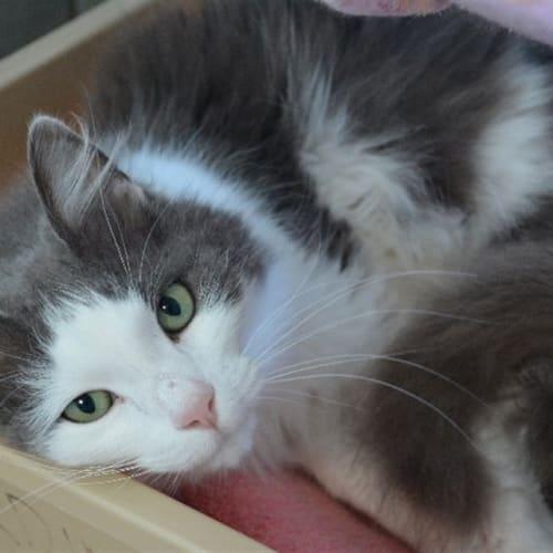 Otto - Domestic Medium Hair Cat
