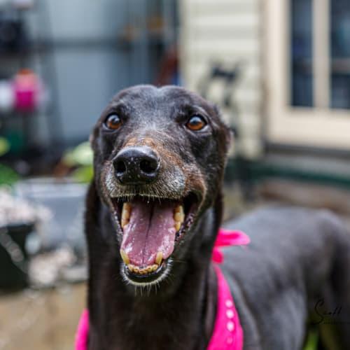 Isaac - Greyhound Dog