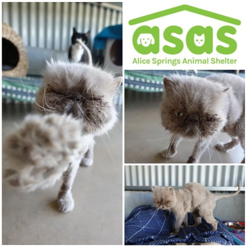 Moony  CT19-321 - Persian Cat