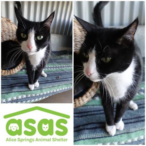 Rosie  CT19-326 - Domestic Short Hair Cat