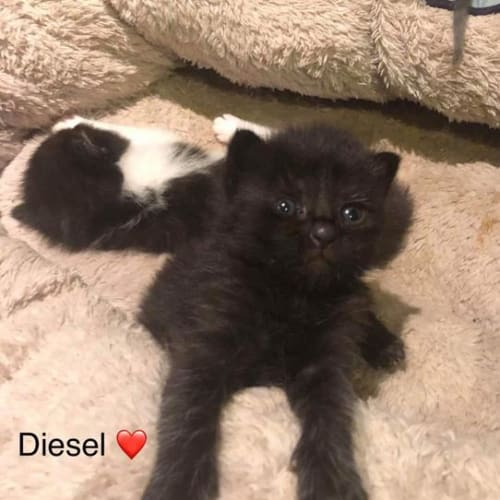 Diesel - Domestic Medium Hair Cat