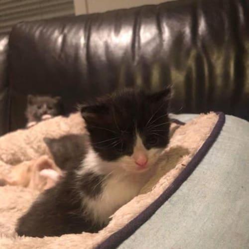 Domino - Domestic Short Hair Cat