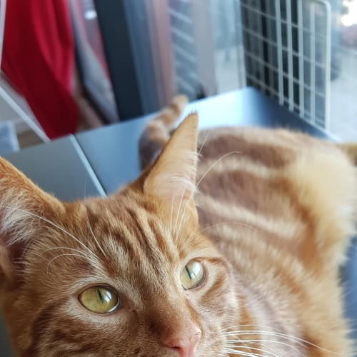 Charlie - Located in Brunswick East - Domestic Short Hair Cat