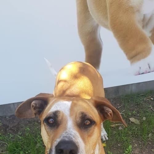 Honey (dog) - Australian Cattle Dog