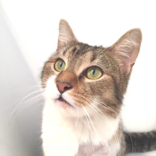Alicia - Domestic Short Hair Cat