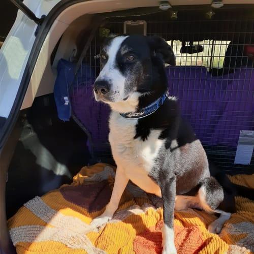 Nick - Border Collie Dog
