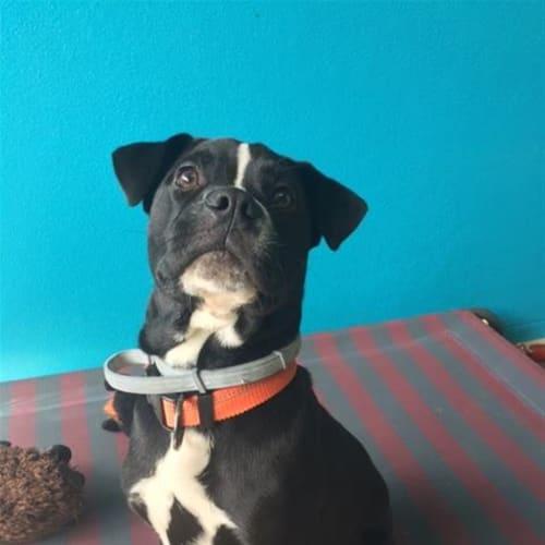 Brodie - Boxer Dog