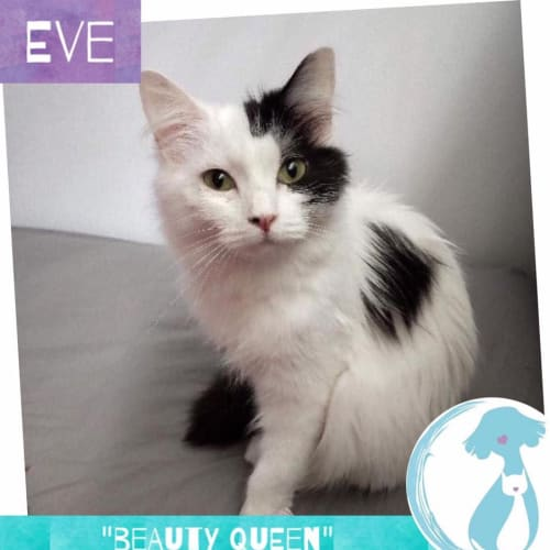 Eve - Domestic Medium Hair Cat