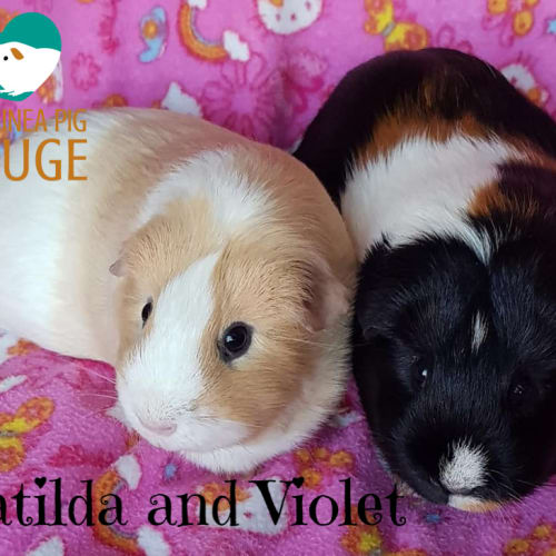 Matilda and Violet - Smooth Hair Guinea Pig