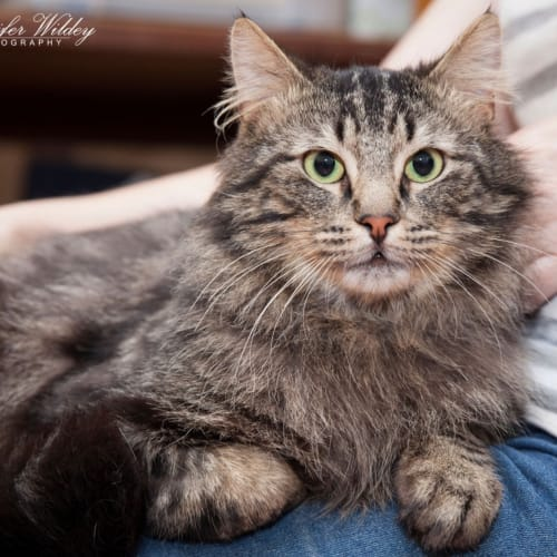 1319 - Harry McBigfoot Henderson - Domestic Long Hair Cat