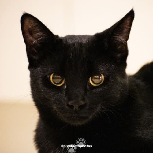 AK3544 - Benny - Domestic Short Hair Cat