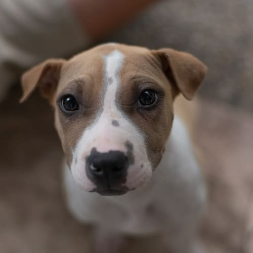 Luna - Staffordshire Bull Terrier Dog