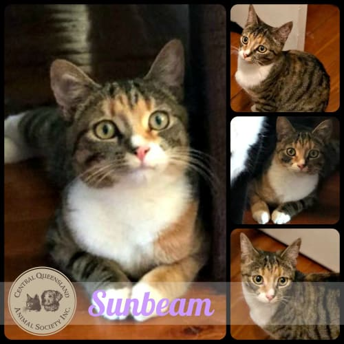 Sunbeam - Domestic Short Hair Cat