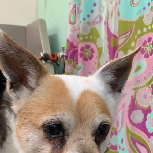 Jack - Jack Russell Terrier x Maltese Dog