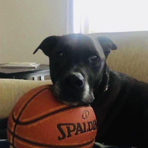 Mr Jenkins - Labrador Dog