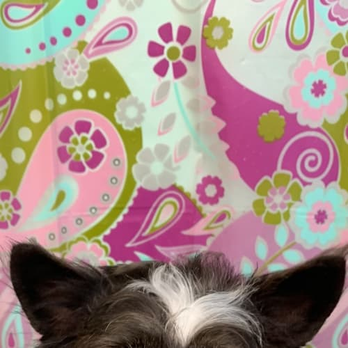 Cindy - Shih Tzu x Miniature Fox Terrier Dog
