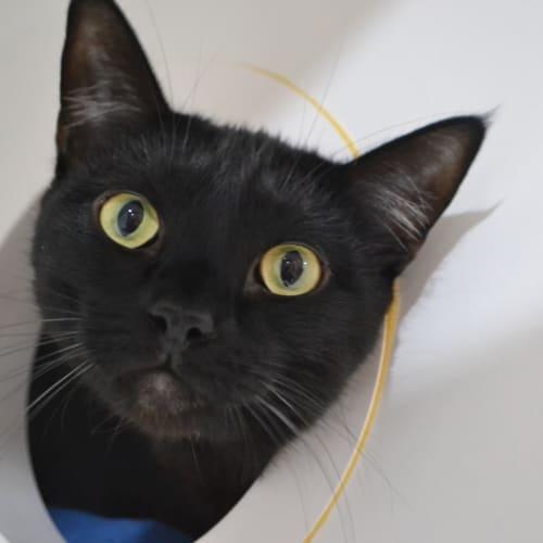 Batman - Domestic Short Hair Cat