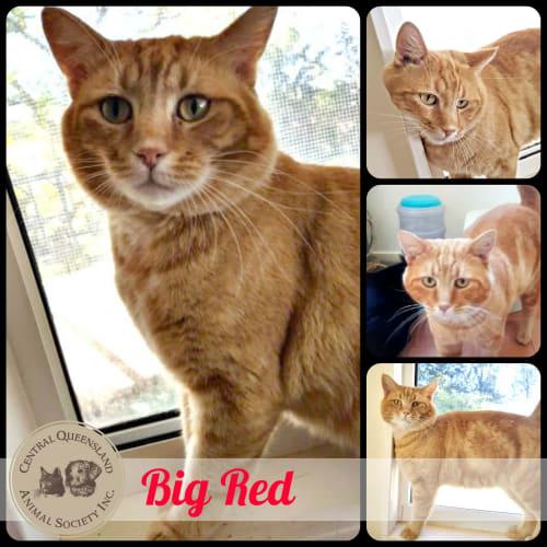 Big Red - Domestic Short Hair Cat