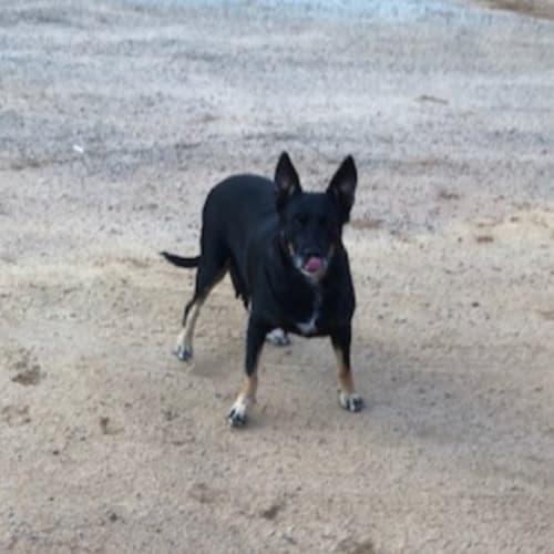 Sally - Kelpie x Cross breed Dog