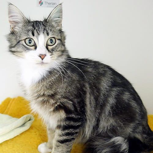 Smoosh SUK004323 - Domestic Medium Hair Cat