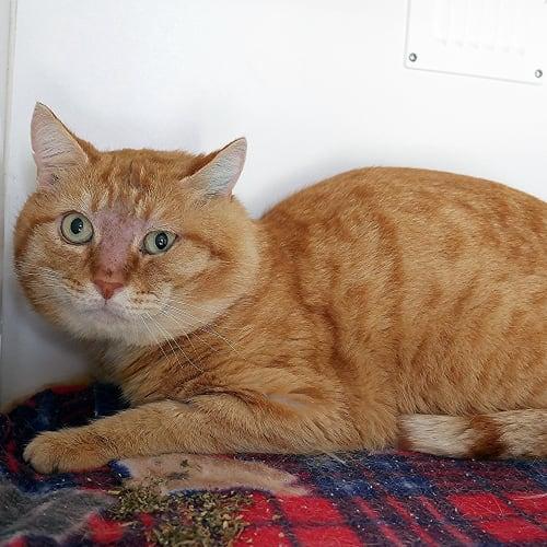Phillip STA004371 - Domestic Short Hair Cat