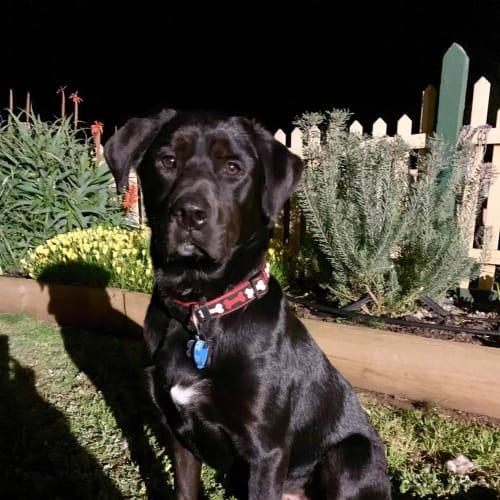 Bobby (Foster carer needed) - Labrador x Ridgeback Dog