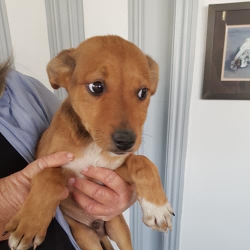 Scout  - Kelpie Dog
