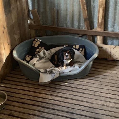 Brandy - Cavalier King Charles Spaniel Dog