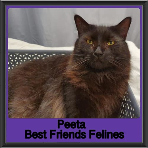 Peeta  - Domestic Medium Hair Cat