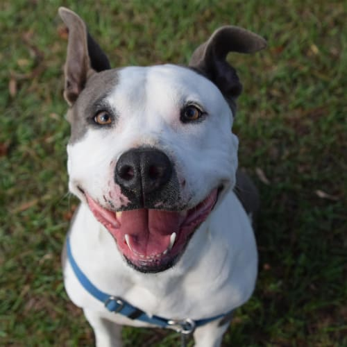 Missy Elliott - American Staffordshire Bull Terrier Dog