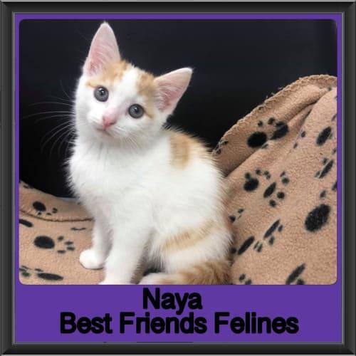 Naya  - Domestic Short Hair Cat