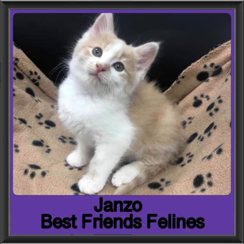 Janzo  - Domestic Long Hair Cat