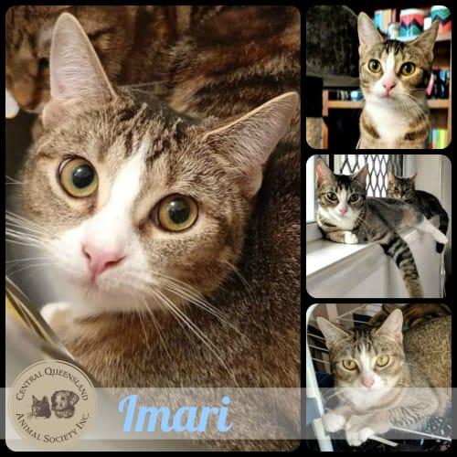 Imari  - Abyssinian Cat