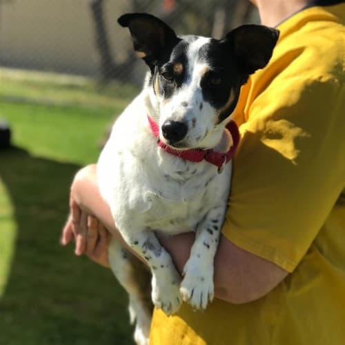 Norm - Jack Russel Terrier Dog