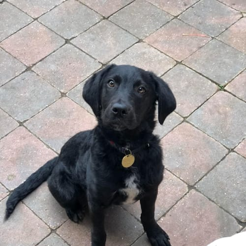 mr wilson - Curly Coated Retriever x Labrador Dog