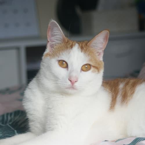Aramis - Domestic Short Hair Cat