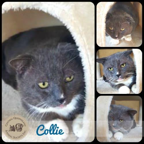 Collie - Domestic Short Hair Cat