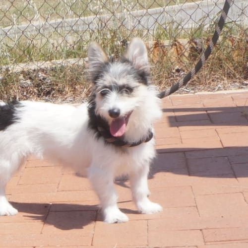 Arya - Terrier Dog