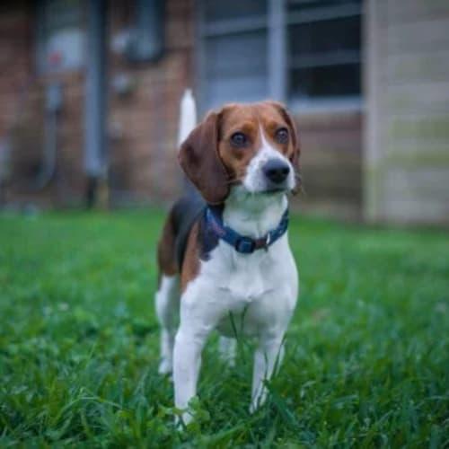 Jack  - Beagle Dog