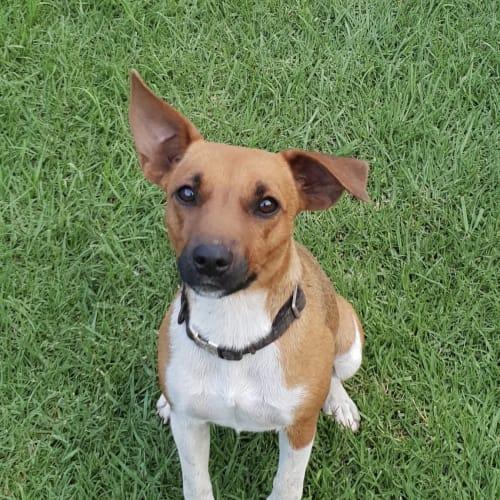 Beans (aka Beanie)  - Jack Russell Terrier Dog