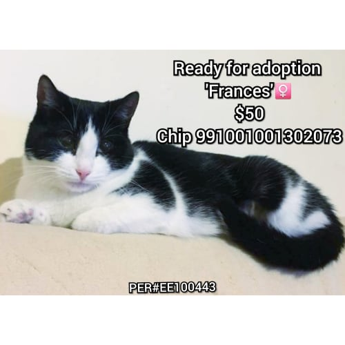 Frances - Domestic Short Hair Cat