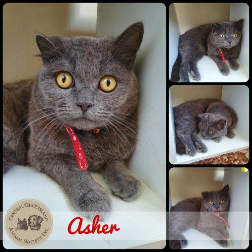 Asher - British Shorthair Cat