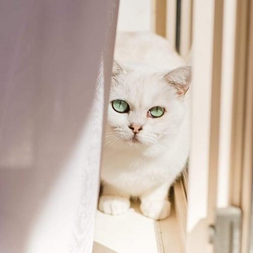 161 - Patti - Burmilla Cat