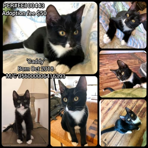 Caddy! - Domestic Short Hair Cat